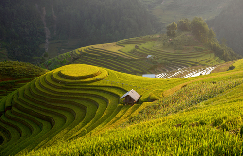 Golden rice terrace  Landscape photography