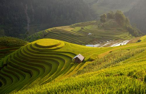Golden rice terrace Landscape photography